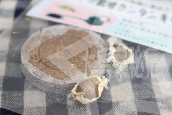 モリンガの育て方(モリンガ栽培簡単キット2)