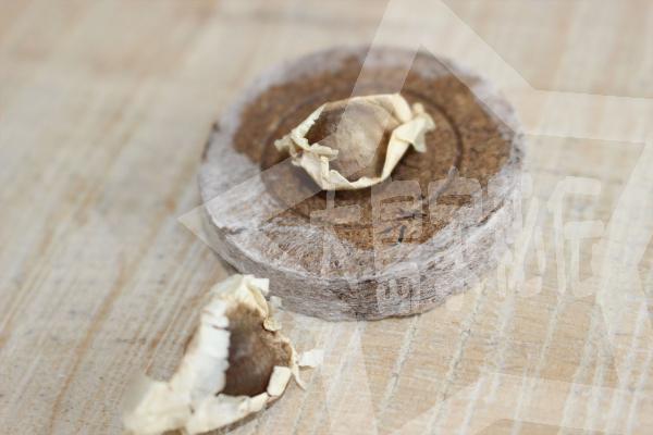 モリンガの育て方(モリンガ栽培簡単キット3)