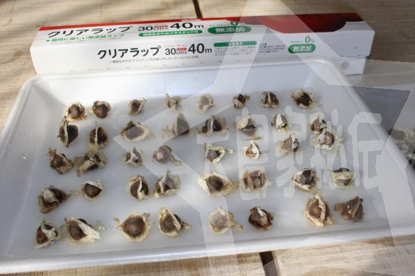 モリンガの種のタッパでの育て方1