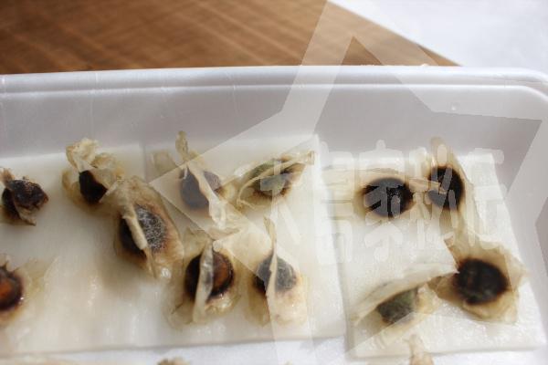 モリンガ種の植え方失敗