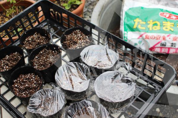 モリンガ種の植え方プラポットに直接種を植える5