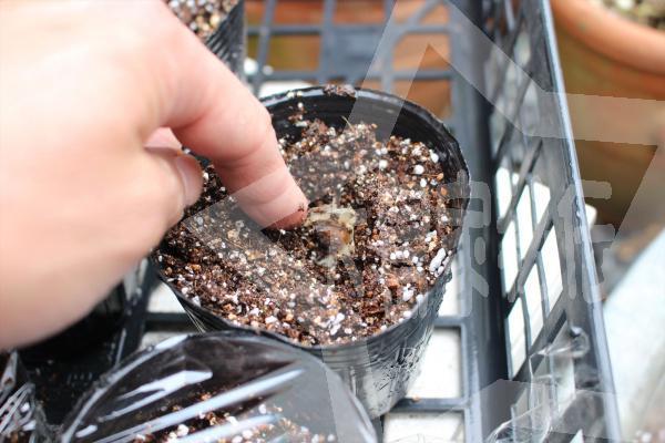 モリンガ種の植え方プラポットに直接種を植える3