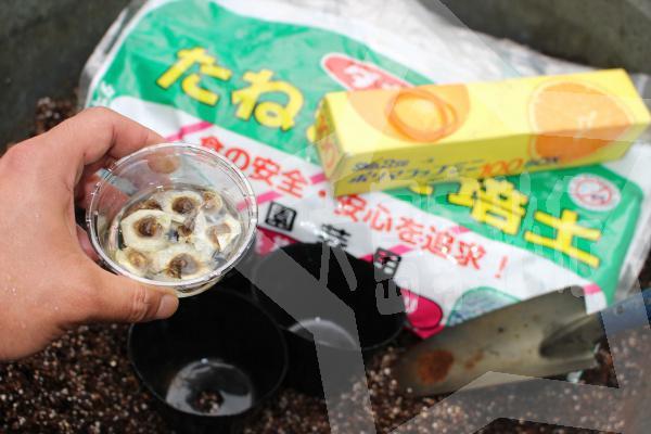 モリンガ種の植え方プラポットに直接2モリンガ種は水につけておく