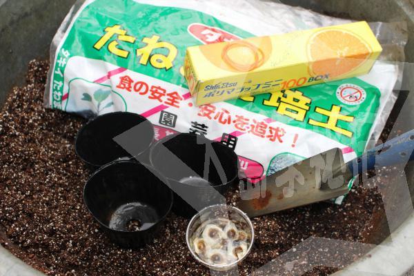 モリンガ種の植え方プラポットに直接1用意するもの