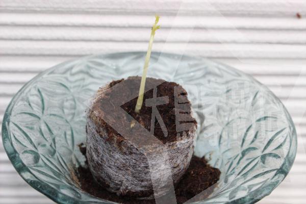 天草モリンガファーム「モリンガ栽培キット」の使い方芽が5cm