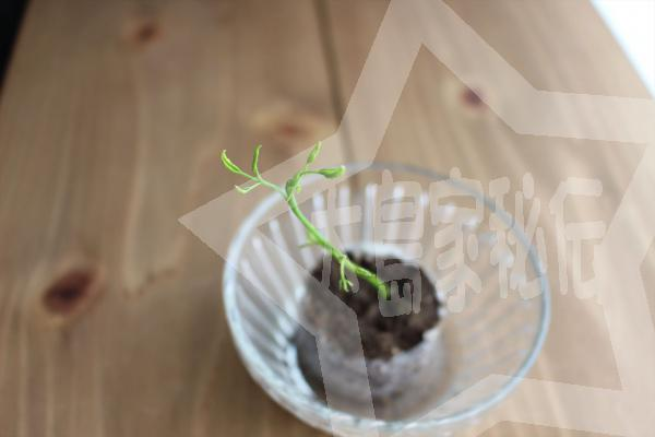 天草モリンガファーム「モリンガ栽培キット」の使い方植替え前